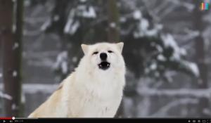 Lobo en Yellowstone