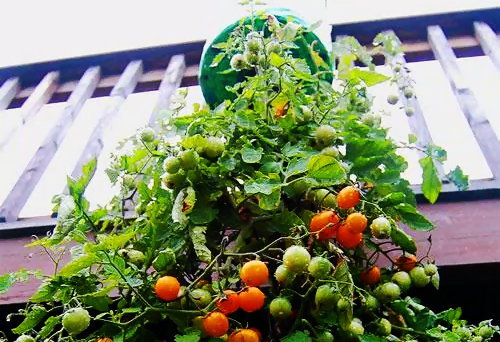 Tomates en botellas de plastico