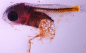 Larva de perca con plasticos